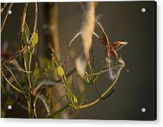 Feathery Seed  Acrylic Print