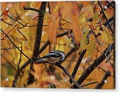 Feeding Chickadee Acrylic Print