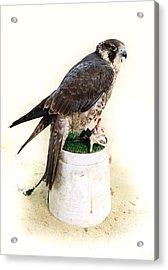 Feeding Falcon Acrylic Print by Paul Cowan