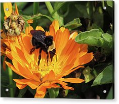 Feeding In Calendula Acrylic Print by Bonnie Muir
