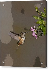 Feeding Rufus Hummingbird- Abstract Acrylic Print by Tim Grams