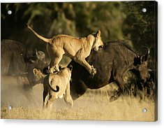 Female African Lions Pounce On An Acrylic Print by Beverly Joubert