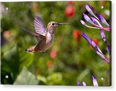 Female Allen's Hummingbird Acrylic Print by Mike Herdering