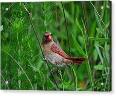 Female Cardinal - C5527a Acrylic Print by Paul Lyndon Phillips
