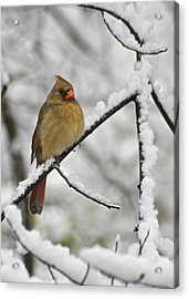 Female Cardinal 3656 Acrylic Print by Michael Peychich