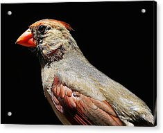 Female Cardinal Acrylic Print by Paulette Thomas
