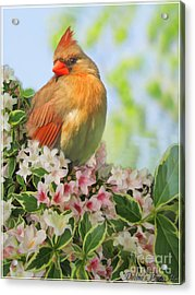 Acrylic Print featuring the photograph Female Cardnial In Wegia Digital Art by Debbie Portwood