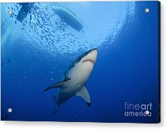 Female Great White, Guadalupe Island Acrylic Print by Todd Winner