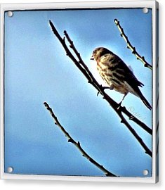 Female House Finch Catching The Morning Acrylic Print