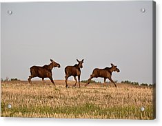 Female Moose With Male Calves In Saskatchewan Field Acrylic Print by Mark Duffy