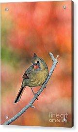 Female Northern Cardinal - D007809 Acrylic Print