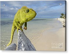 Female Oustalet's Chameleon Acrylic Print by Alex Rosenfield and Photo Researchers
