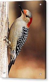 Female Red-bellied Woodpecker 5 Acrylic Print by Larry Ricker