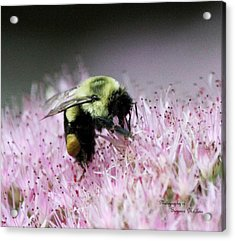 Female Worker Bumble Bee With Pollen Sack On Hen And Chick Plant Acrylic Print by Suzanne  McClain