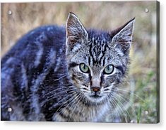 Acrylic Print featuring the photograph Feral Kitten by Chriss Pagani