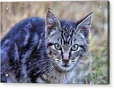 Feral Kitten Acrylic Print by Chriss Pagani