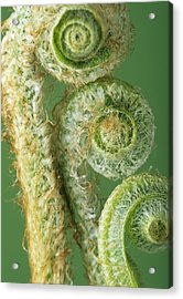 Fern Fronds Acrylic Print by David Aubrey