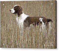 Field Bred Springer Spaniel Acrylic Print