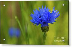 Field Flower - Blue-bottle Acrylic Print
