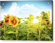 Field Of Colorful Sunflowers And Blue Sky  Acrylic Print by Sandra Cunningham