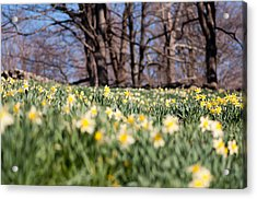 Field Of Daffodils Acrylic Print by Ron Smith