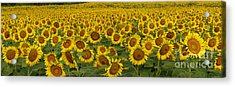 Field Of Domestic Sunflowers Acrylic Print by Kenneth M Highfill and Photo Researchers