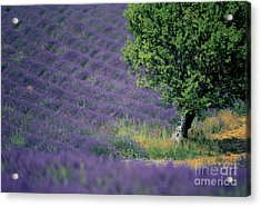 Field Of Lavender Acrylic Print by Bernard Jaubert