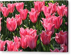 Field Of Pink Tulips Acrylic Print