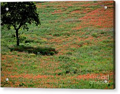 Field Of Poppies. Acrylic Print by Bernard Jaubert