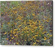 Field Of Suzies Acrylic Print by Cedric Hampton