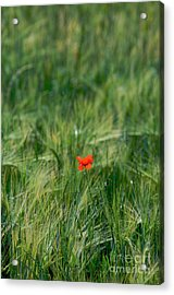 Field Of Wheat With A Solitary Poppy. Acrylic Print by Bernard Jaubert
