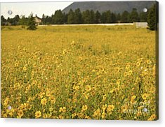 Field Of Yellow Daisy's Acrylic Print