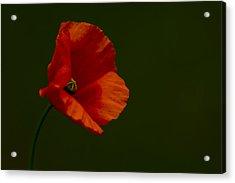 Field Poppy Acrylic Print by Rob Hemphill