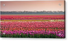 Acrylic Print featuring the photograph Field With Tulips by Hans Engbers
