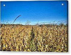 Fields Of Gold Acrylic Print by Dan Crosby