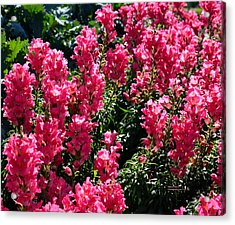 Fiery Pink Acrylic Print by Maria Urso