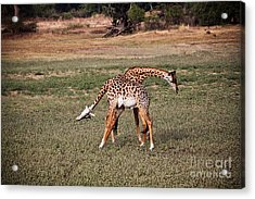 Fighting Giraffe Acrylic Print by Gualtiero Boffi