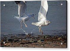 Fighting Gulls Acrylic Print by Karol Livote