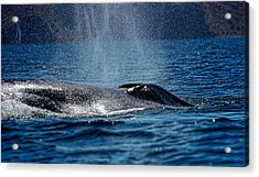 Acrylic Print featuring the photograph Fin Whale Spouting by Don Schwartz