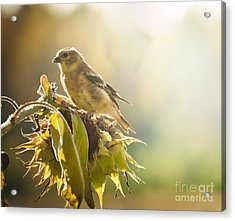 Acrylic Print featuring the photograph Finch Aglow by Cheryl Baxter