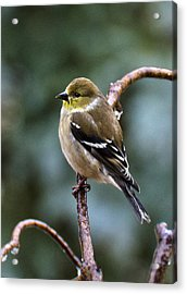 Finch In An Ice Storm Acrylic Print