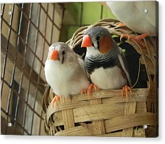 Finches In Their Nest Acrylic Print by Arindam Raha