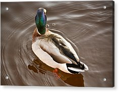 Acrylic Print featuring the photograph Fine Feathered Mallard Duck by Ann Murphy