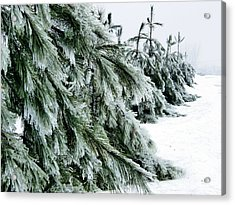 Fir And Ice Acrylic Print by Sophie Vigneault
