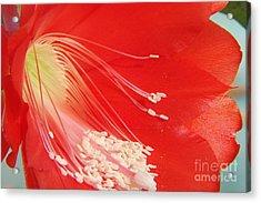 Fire Cactus Acrylic Print