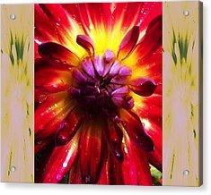 Firecracker Dahlia... Acrylic Print by Rene Crystal