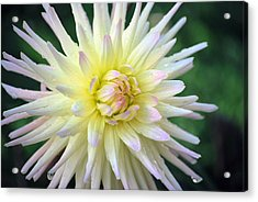 Acrylic Print featuring the photograph Firecracker Mum by Amee Cave