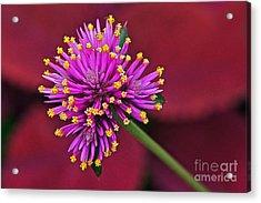 Fireworks Flower Acrylic Print by Byron Varvarigos