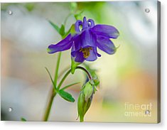 First Columbines Acrylic Print