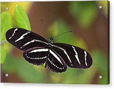 First Flight Of The Butterfly - Artist Cris Hayes Acrylic Print by Cris Hayes